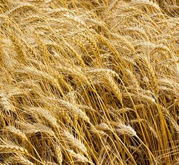 Wheat Straw Exporters & Suppliers in Pakistan, Wheat Straw company